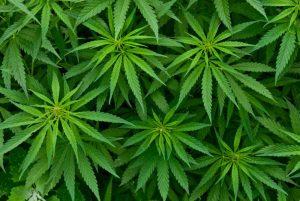 cannabis-large1